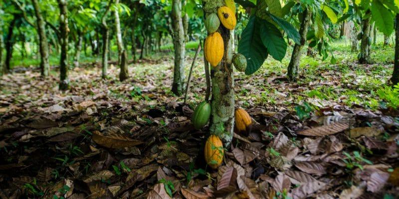 COTE D'IVOIRE : une carte interactive alerte sur le cacao et la déforestation©Neja Hrovat/Shutterstock