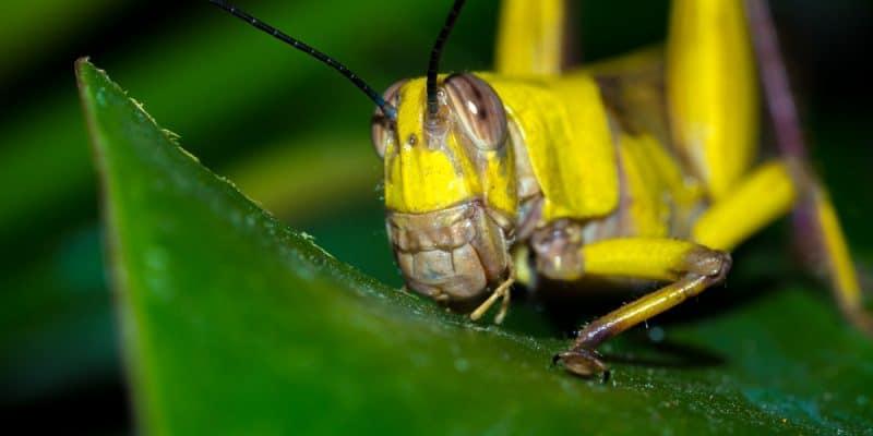 KENYA: Locust invasion threatens crops in north-eastern Kenya©Mike Workman Shutterstock