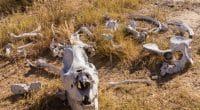 BOTSWANA : les rhinocéros du pays pourraient disparaître d'ici un an ou deux…©Steve Heap/Shutterstock