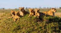 TANZANIE : une course contre la montre s'engage pour déplacer 36 lions du Serengeti©Maggy Meyer/Shutterstock