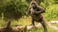 RDC : La radio environnementale Gorilla FM va émettre dès 20 mars 2020©sjors evers/Shutterstock