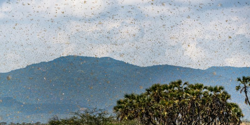 EASTERN AFRICA: Locusts invasion, another impact of climatic fluctuations©Jen Watson/Shutterstock