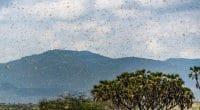 AFRIQUE DE L'EST : les criquets, autre conséquence des variations climatiques extrêmes©Jen Watson/Shutterstock