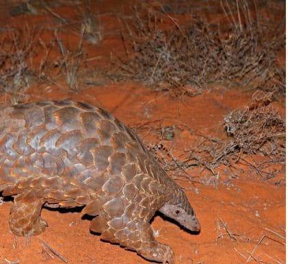 CAMEROON: Government concerned about the gradual disappearance of pangolins©EcoPrint/Shutterstock