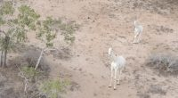 KENYA: Two of the three white giraffes in the world killed©Juergen_Wallstabe/Shutterstock