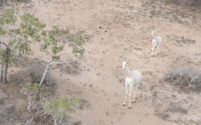 KENYA : les braconniers ont exterminé les toutes dernières girafes blanches au monde©Ishaqbini Hirola