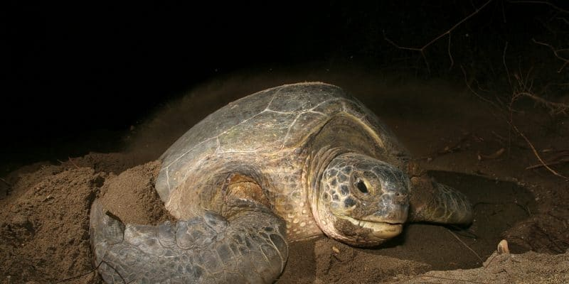 """CAPE VERDE: The """"man trading"""" project to fight against turtle poaching©COULANGESShutterstock"""