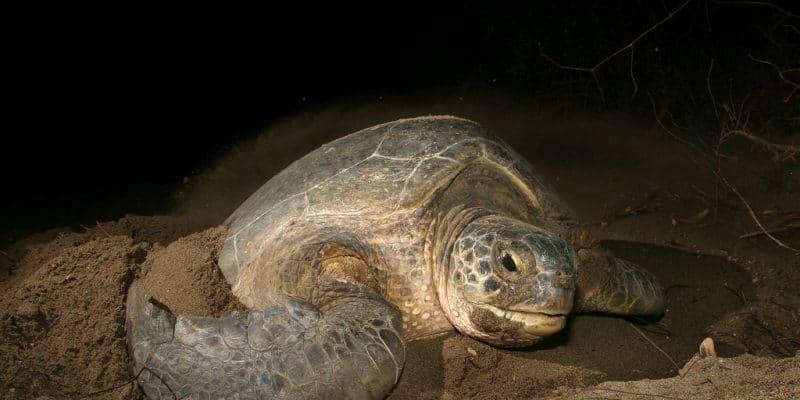 CAP-VERT : le projet «man trading» pour lutter contre le braconnage des tortues©COULANGESShutterstock