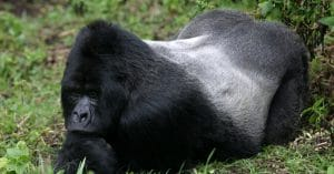 DRC: Confined local residents allowed to collect food in Virunga Park. ©erwinf./Shutterstock