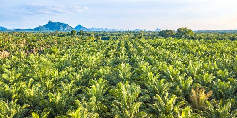 CAMEROUN : le projet de palmeraie «Camvert» offre des garanties environnementales ©apiguide/Shutterstock