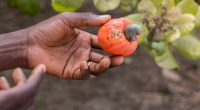 BENIN: Fludor recycles cashew waste, thereby preserving the environment ©Salvador Aznar/Shutterstock