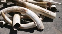 CAMEROON: Traffickers arrested with ivory tusks in Douala©Joe Mercier / Shutterstock