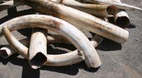 CAMEROUN : trois trafiquants ont été interpelés avec deux pointes d'ivoire à Douala©Joe Mercier / Shutterstock