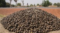 GHANA: A Rocha, setting up organic shea butter production centre©Torsten Pursche/Shutterstock