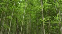 RWANDA: Bamboo-to-toilet paper factory, to be constructed©Atcharaporn daisai/Shutterstock