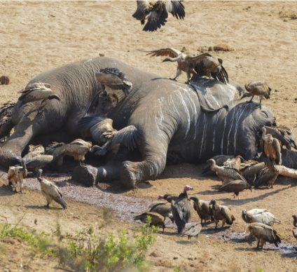 ETHIOPIA: Poachers kill six elephants near Mago National Park©Martina Wendt/Shutterstock