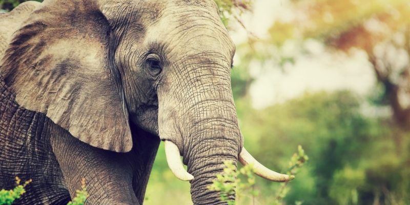 "AFRICA: Global consultation for the ""New Big 5"" of land animals ©Anna Om/Shutterstock"