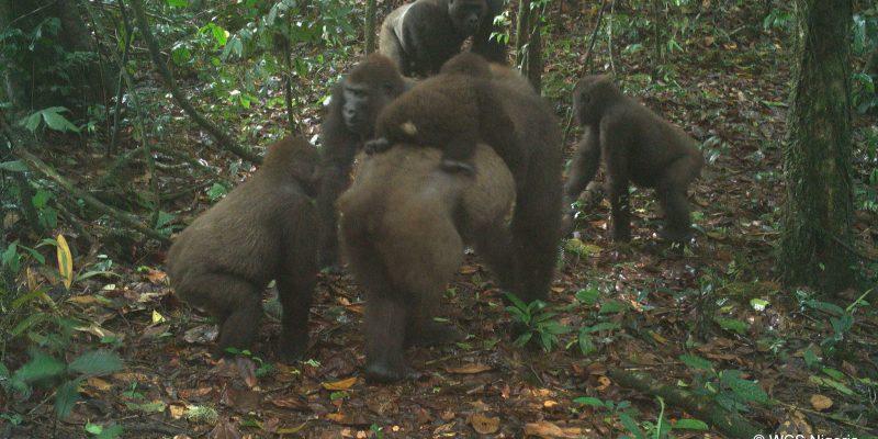 NIGERIA : première photographie du gorille le plus rare au monde©stephen sautner (WCS - Communications)