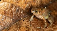 MADAGASCAR: Mark Scherz discovers new species of diamond frog on the island©Mark Scherz