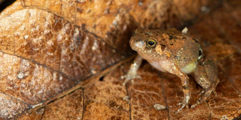 MADAGASCAR : Mark Scherz découvre une nouvelle espèce de grenouille diamant sur l'île©Mark Scherz
