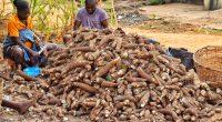 NIGÉRIA : un consortium va transformer les pelures de manioc en électricité©Agbebiyi Adekunle Sunday/Shutterstock