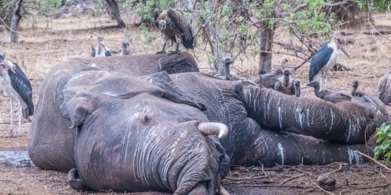 BOTSWANA: Investigation on mysterious death of more than 350 elephants lags ©senee sriyota / Shutterstock