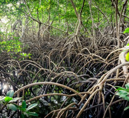 NIGERIA: Restoring mangrove forests in the Niger Delta
