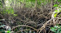 NIGÉRIA : vers la restauration des forêts de mangroves dans le delta du Niger ©Vladimir Zhoga/Shutterstock