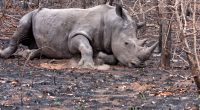 SOUTH AFRICA: Rhino poaching falls by 50%, but remains alarming©Daleen Loest/Shutterstock