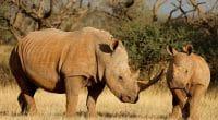 AFRIQUE DU SUD : une nouvelle initiative pour renforcer la protection des rhinocéros©EcoPrint/Shutterstock