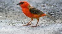MAURICE : la marée noire renforce l'extermination du «cardinal de Maurice» ©Tunatura/Shutterstock