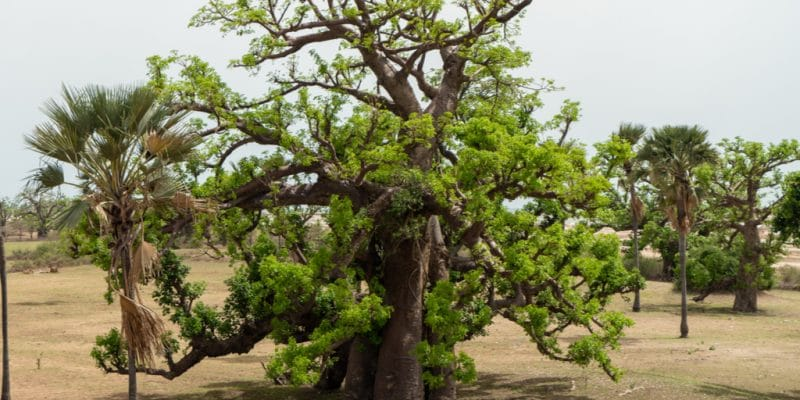 SENEGAL: A campaign to plant 20 million trees by the end of September©Juriz/Shutterstock