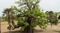 SÉNÉGAL : une campagne pour la plantation de 20 millions d'arbres d'ici fin septembre©Queldroma/Shutterstock