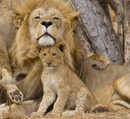MOZAMBIQUE: Lion population rebounds in Gorongosa National Park©Stu Porter/Shutterstock