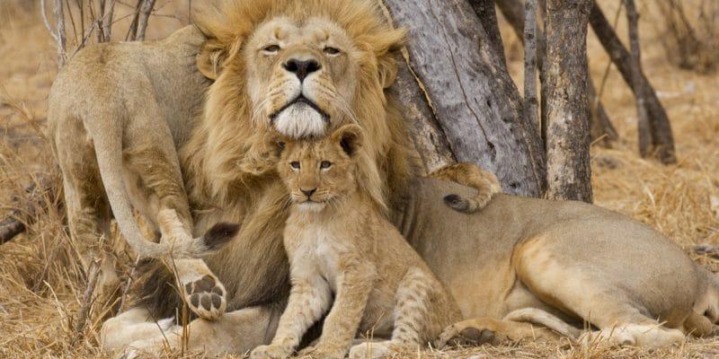 MOZAMBIQUE: Lion population rebounds in Gorongosa National Park©Stu Porter/Shutterstock
