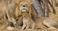 MOZAMBIQUE : la population de lions rebondit dans le parc national de Gorongosa©Stu Porter/Shutterstock