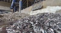 AFRIQUE DE L'OUEST : des navires-usines accusés de pillage des ressources halieutiques©think4photop/Shutterstock