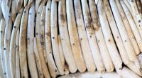CAMEROON: Customs seizes 118 elephant tusks at Ambam in the south ©Roger Brown Photography/Shutterstock