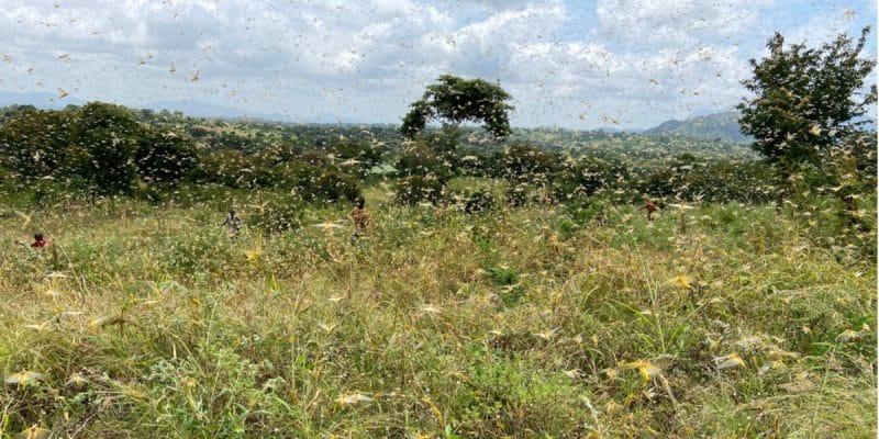SENEGAL: the locust harvester fights ecologically against locust invasion©Nicole Macheroux-Denault/Shutterstock