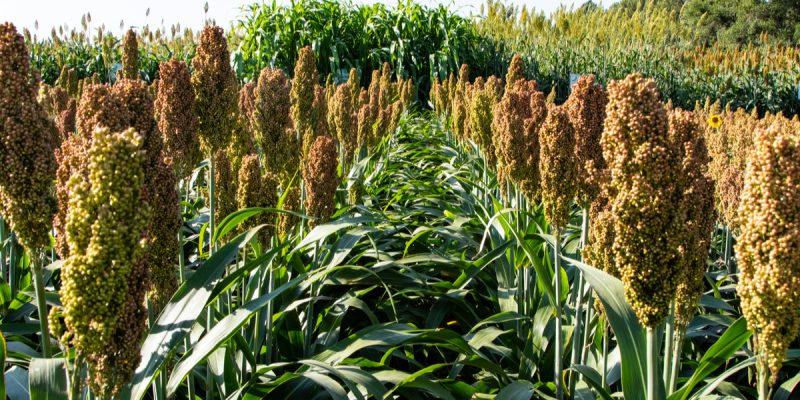 AFRICA: millet and sorghum, the cereals most resistant to climate change©Vitaliy Gryschenko/Shutterstock