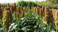 AFRIQUE : mil et sorgho, les céréales les plus résistantes au changement climatique©Vitaliy Gryschenko/Shutterstock