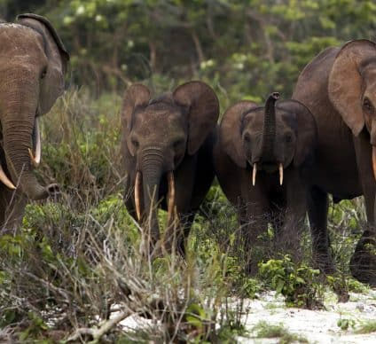 GABON: climate change is starving elephants in the Lopé Park©zahorec/Shutterstock
