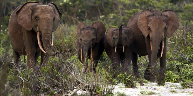 GABON: climate change is starving elephants in the Lopé Park©zahorec/Shutterstock