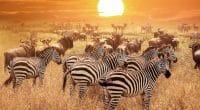 ZAMBIE: un partenariat avec les États-Unis pour la conservation de la faune©Delbars/Shutterstock