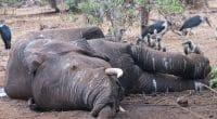 BOTSWANA : le mystère plane sur la mort subite de 356 éléphants au nord du pays©LouieLea/Shutterstock