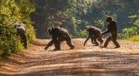 CAMEROUN : la France offre 990000 € pour la protection des chimpanzés de Deng-Deng©CherylRamalho/Shutterstock
