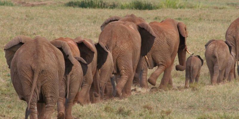 AFRIQUE : la migration comme solution à la surpopulation des éléphants du Botswana?©Steffen Foerster/Shutterstock