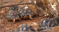 MADAGASCAR : l'Usaid finance la TSA pour la protection des tortues©Lubo Ivanko/Shutterstock
