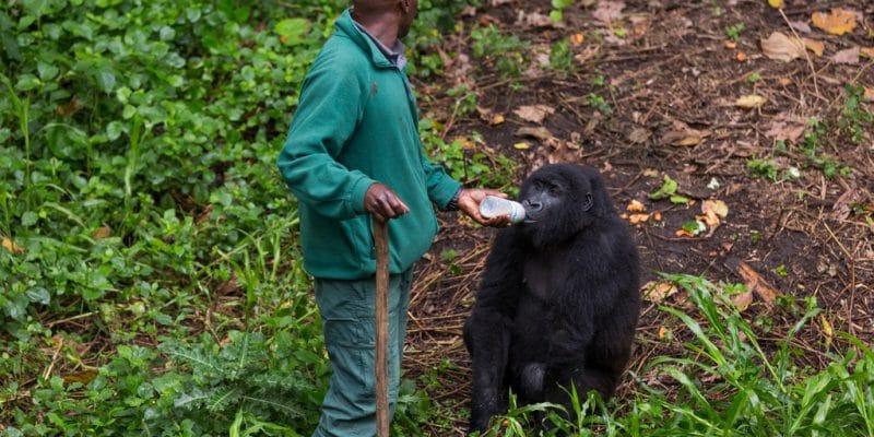 RDC : le GWC et l'UE vont investir 4 M€ pour préserver le parc national des Virunga©LMspencer/Shutterstock