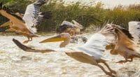 SENEGAL: Government closes Djoudj Park after 750 pelicans die©Anze Furlan/Shutterstock
